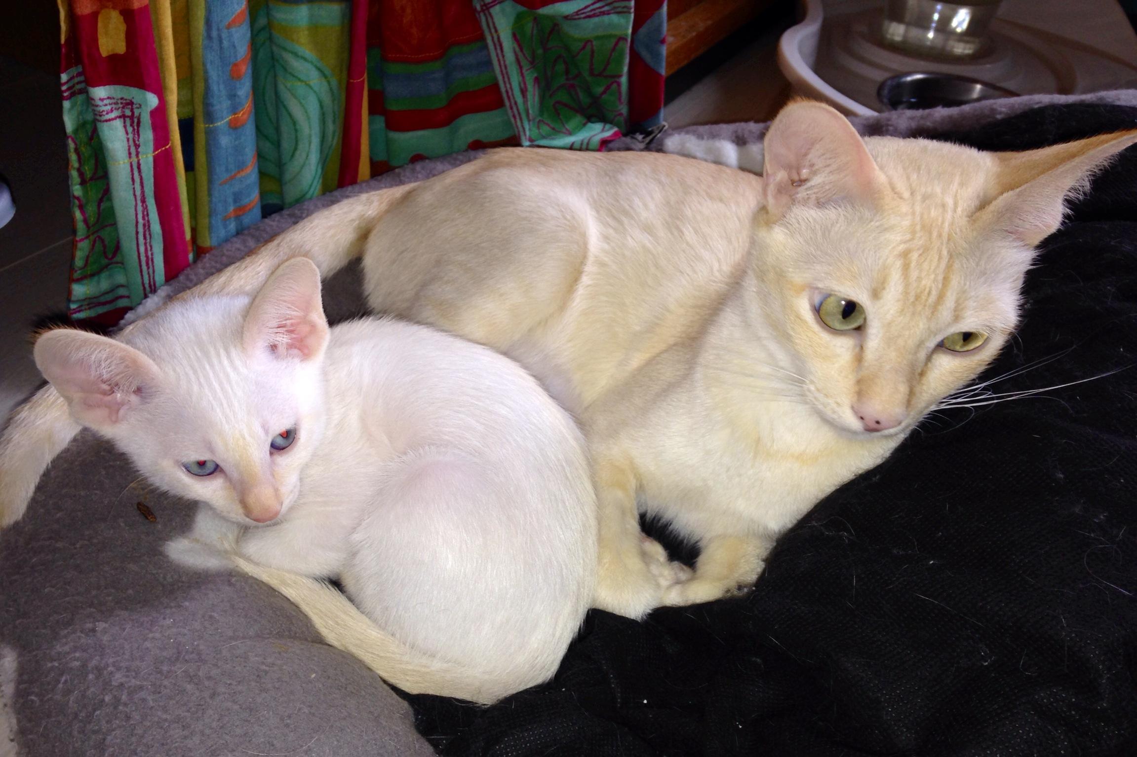 Pemba-Kitten-1