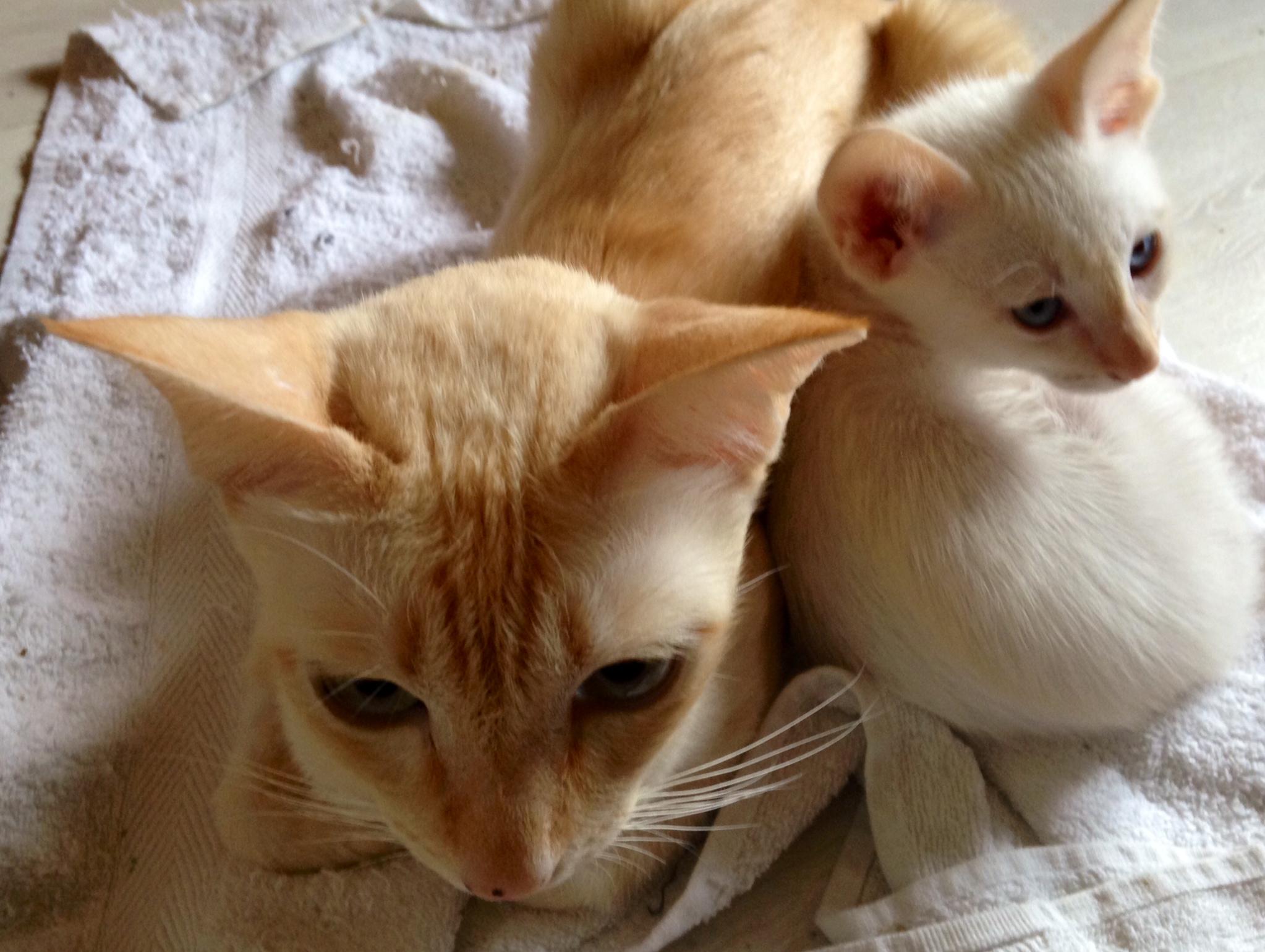 Pemba-Kitten-2
